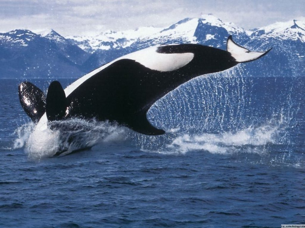 Latest Orca Sea Water Whale Wallpapers Hd Desktop And Mobile Free Download