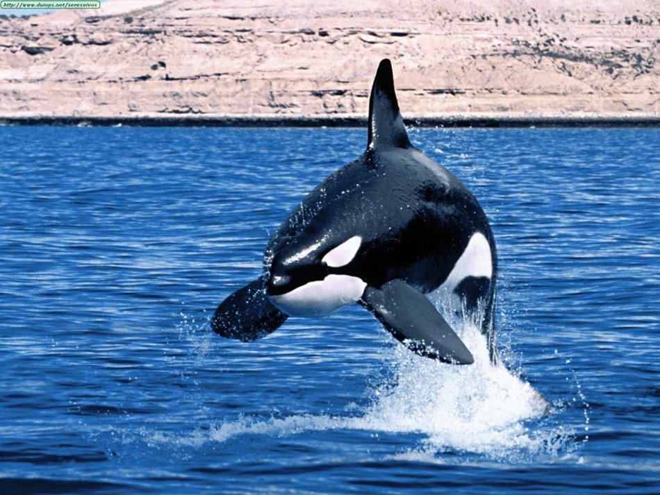 Latest Orcas Características Das Orcas Detalhes Sobre As Orcas Free Download