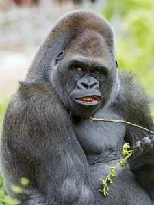 gorilla anki