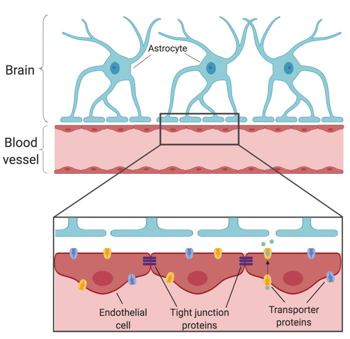 How does Sleep Affect the Blood-brain Barrier?