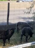 Les moutons le long du périphérique (porte de Vincennes)