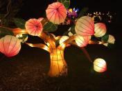 lanternasia cherry trees
