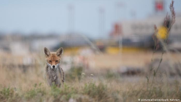 В аэропорту Дрездена созданы не только прекрасные условия для водителей, но и для диких лисиц. Эта обитает прямо около взлетно-посадочной полосы