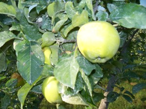 Pristine Apples from Autumn Orchard Harvest LLC
