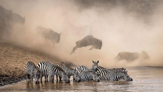 In the Maasai Mara National Reserve in Kenya, zebras search for crocodiles while wildebeest run across the river