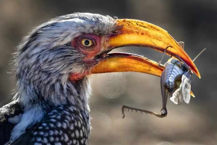 a southern yellow-billed hornbill snags