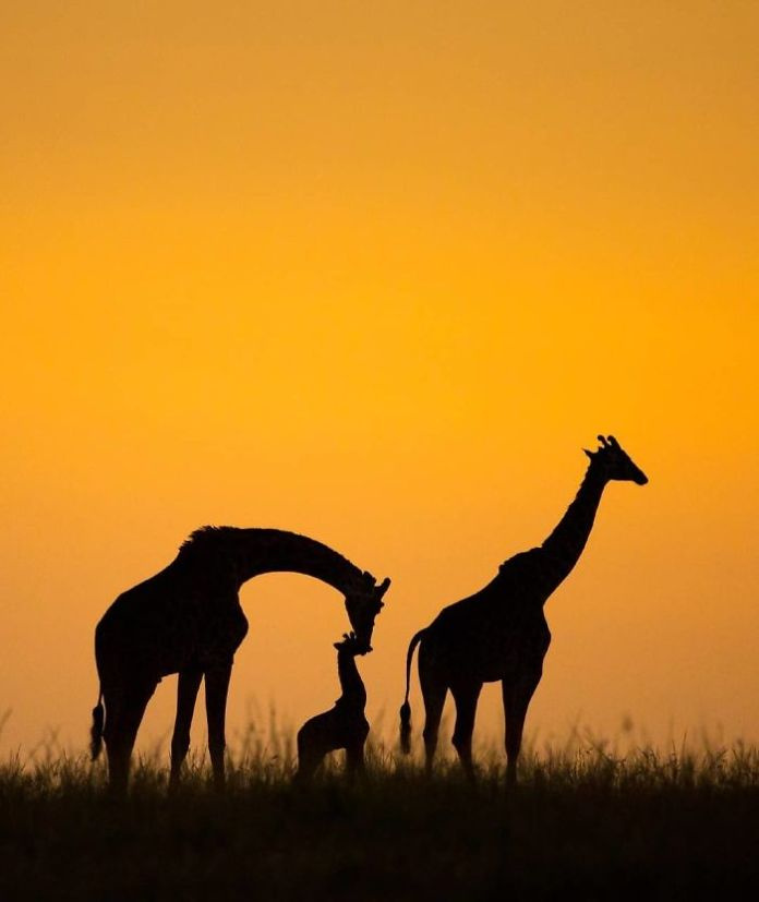 A giraffe family at sunrise