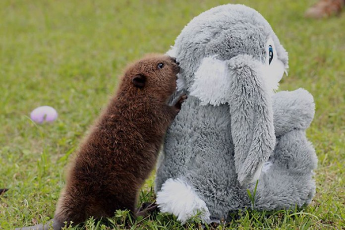 Baby Beaver Playing With A Plush Bunny