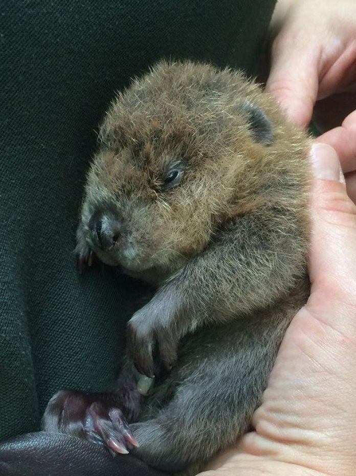 Newborn Baby Beaver At Zoomontana