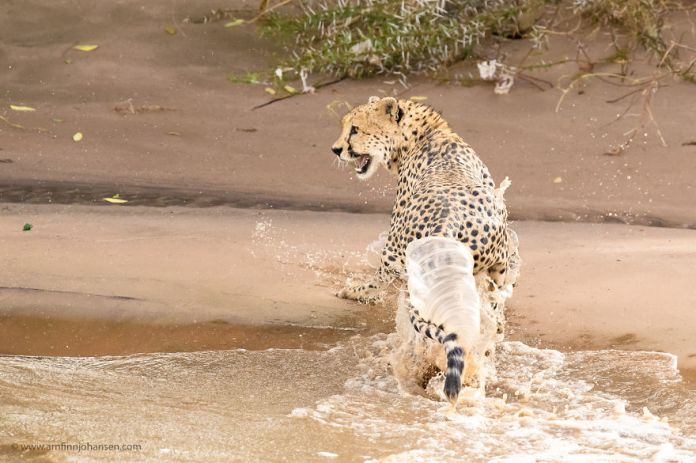 Cheetah brother crossed the flood