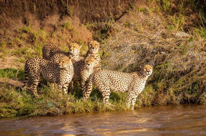Leopard group