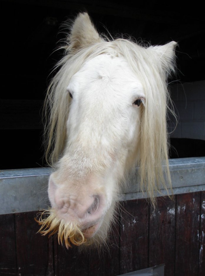 White moustaches horse