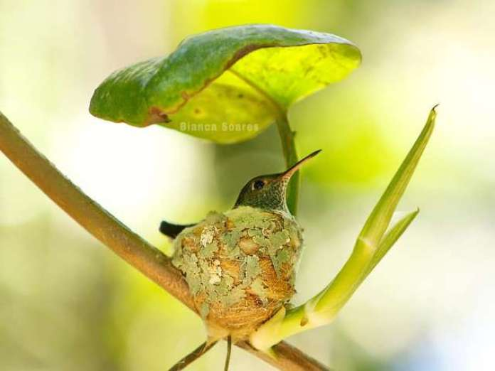 Adorable Clever Hummingbird Builds A Nest With A Roof