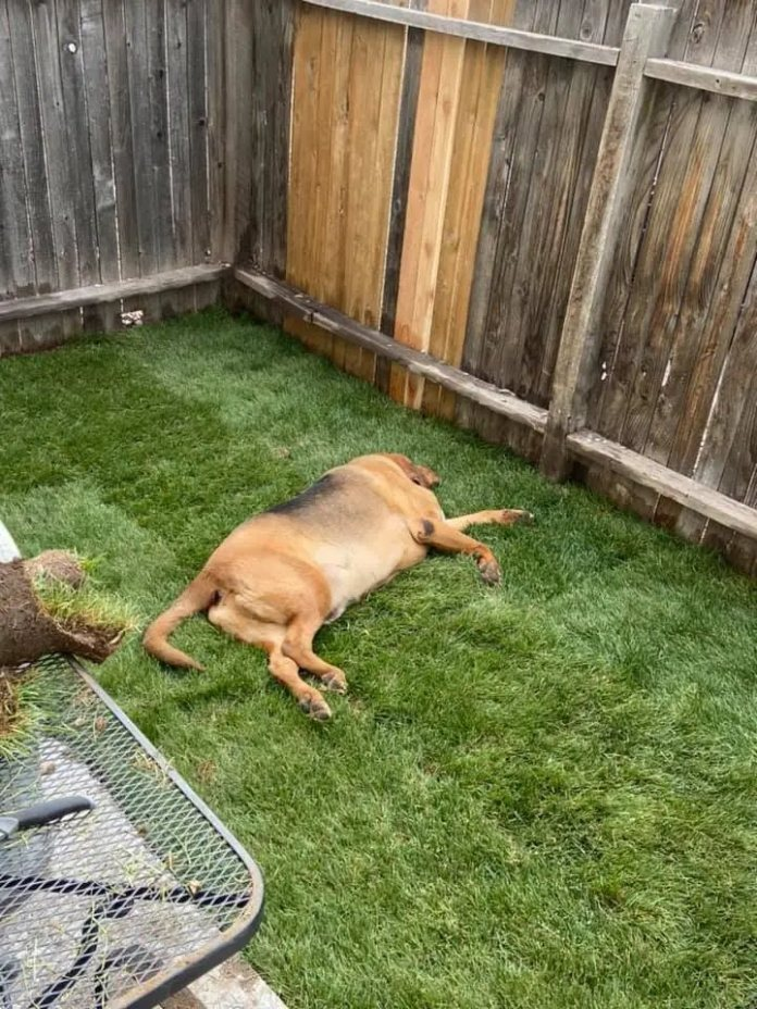 the dog is lying on the grass yard
