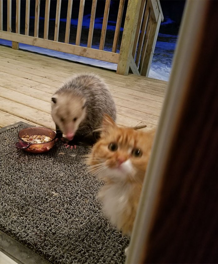 possum steals cat's food