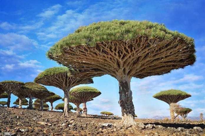 Dragon Blood trees, Socotra, Yemen.