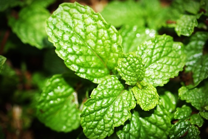 Spearmint and Peppermint