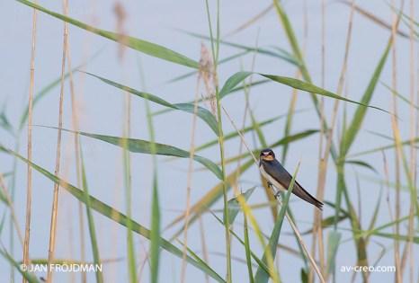 Bird_0001/ Swallow/ Haarapääsky/ Ladusvala