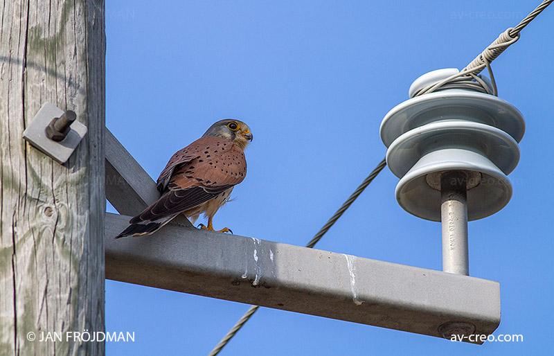 Bird_0594/ Kestrel/ Tuulihaukka/ Tornfalk