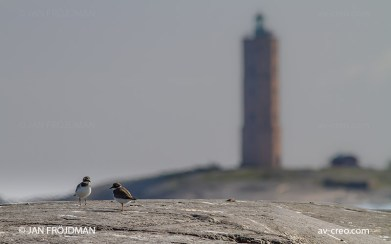 Bird_2875/ Ringed Plover/ Tylli/ Större strandpipare
