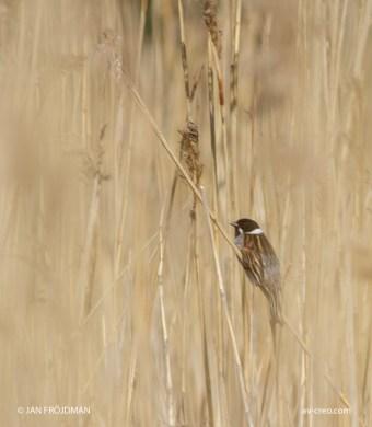 Bird_3369/ Reed Bunting/ Pajusirkku/ Sävsparv
