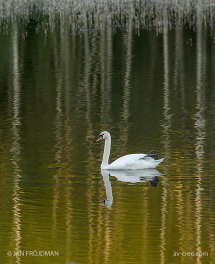 Bird_9148/ Mute Swan/ Kyhmyjoutsen/ Knölsvan