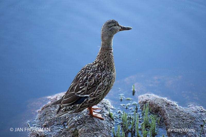 Bird_1282/ Mallard (female)/ Sinisorsa/ Gräsand