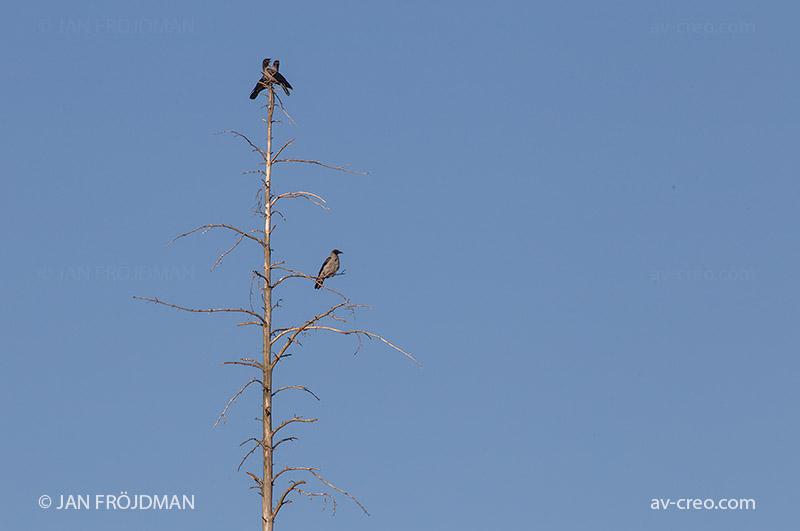 Bird_2024/ Hooded Crow/ Varis/ Kråka