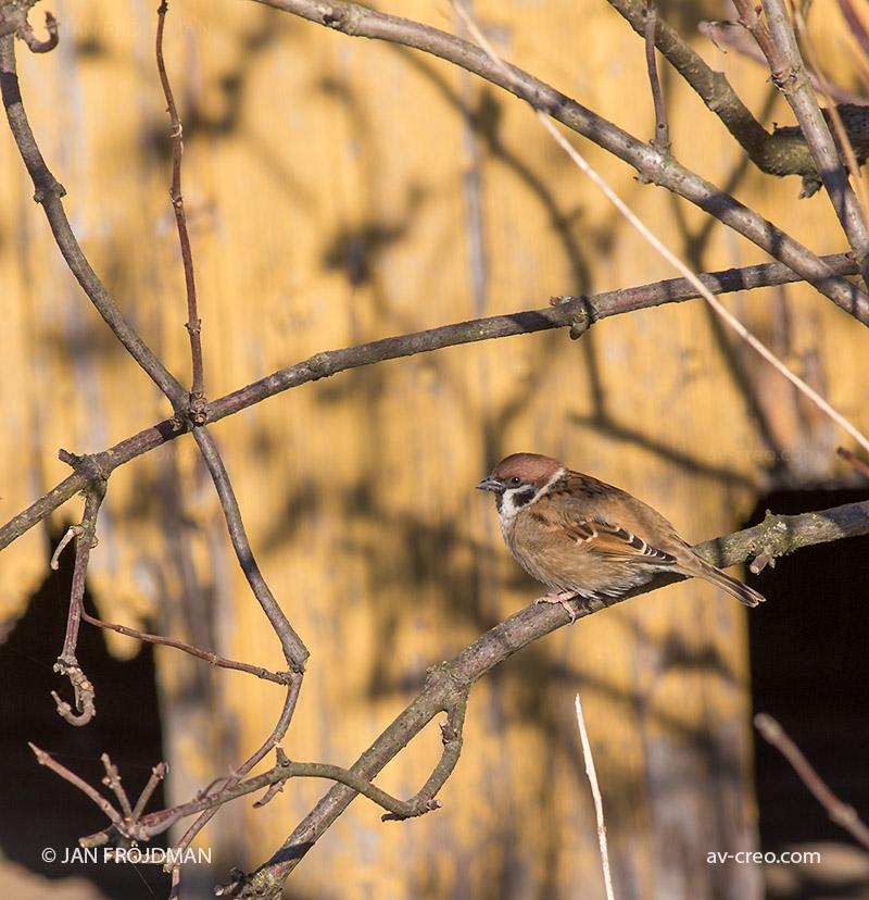 Bird_6478/ Tree Sparrow/ Pikkuvarpunen/ Pilfink
