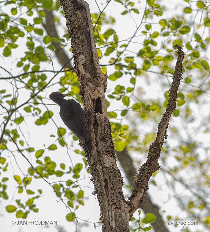 Bird_9121/ Black Woodpecker/ Palokärki/ Spillkråka