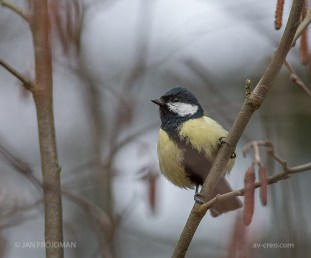 Bird_1326/ Great Tit/ Talitiainen/ Talgoxe