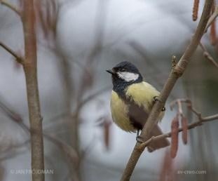 Bird_1326/ Great Tit/ Talitiainen/ Talgoxe