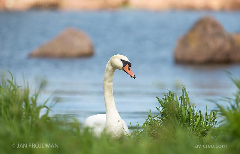 Bird_1827/ Mute Swan/ Kyhmyjoutsen/ Knölsvan