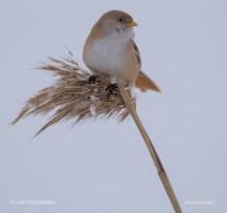 Bird_2057/ Bearded Tit (female)/ Viiksitimali/ Skäggmäs
