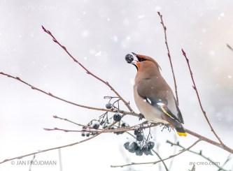 Bird_2147/ Waxwing/ Tilhi/ Sidensvans