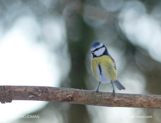 Bird_3134/ Blue Tit/ Sinitiainen/ Blåmes