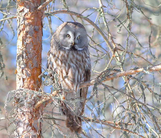 Bird_7743/ Great Grey Owl/ Lapinpöllö/ Lappuggla