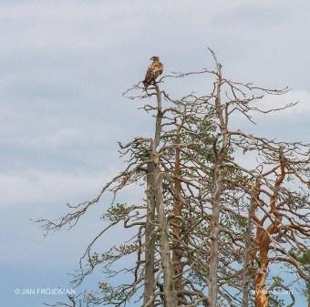 Bird_7404/ White-tailed Eagle/ Merikotka/ Havsörn