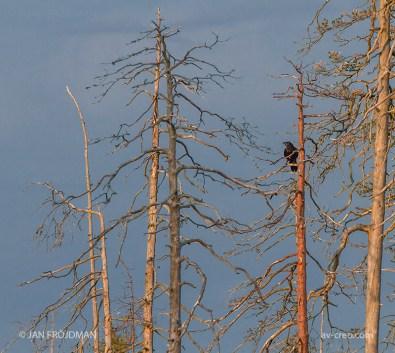 Bird_7453/ Raven/ Korppi/ Korp