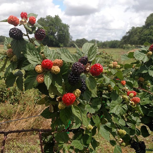 One last farewell to this year's blackberries. We just finished cutting down all 600 feet of them in preparation for next year's crop. See you next June!