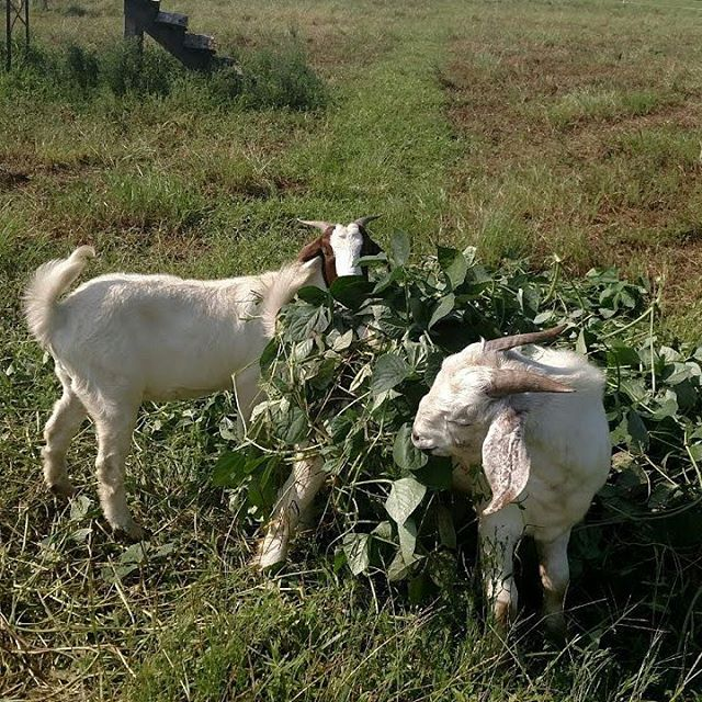 The top notch recycling crew here at is busy doing their part to clean up the pea cover crop leftovers.