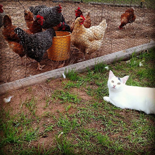 """What's funny is that the cat and the yellow chicken are both thinking the same thing – """"if I could just get through this fence, I could SO get that!""""."""