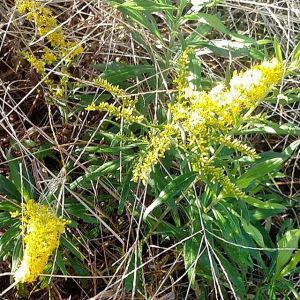 wandering-the-property-this-beautiful-fall-morning-looking-for-pretty-yellow-goldenrod-blooms...so-i