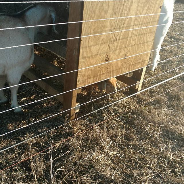 So Star, the baby goat, now has her own private little feeding area under the new feeder.  She's very happy with the unintended construction results.