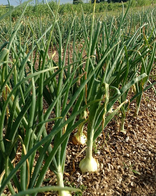 Take a guess what's coming soon from to #marketatdothan... Aww, you peeked! That's right - Valda....ummm...Kinston Sweet onions! Be a few more weeks, but they're looking mighty tasty now!