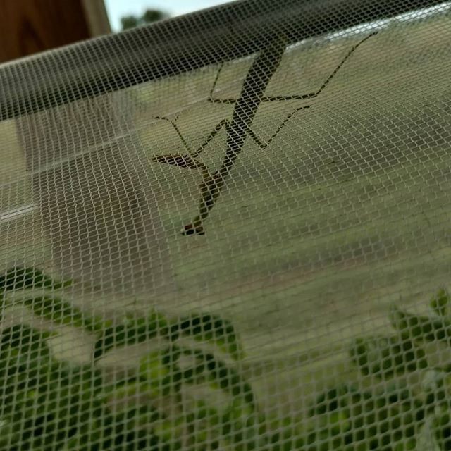 Integrated pest management (IPM) at it's finest. Carnivorous insect inside the netting on our aquaponic beds of basil.