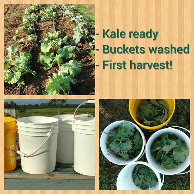 1st greens harvest of Fall! 4 kinds of kale: tuscanodino, red Russian, white Russian and Siberian. Fighting the heat with afternoon waterings. 90 plus degrees (real feel 100 plus!)