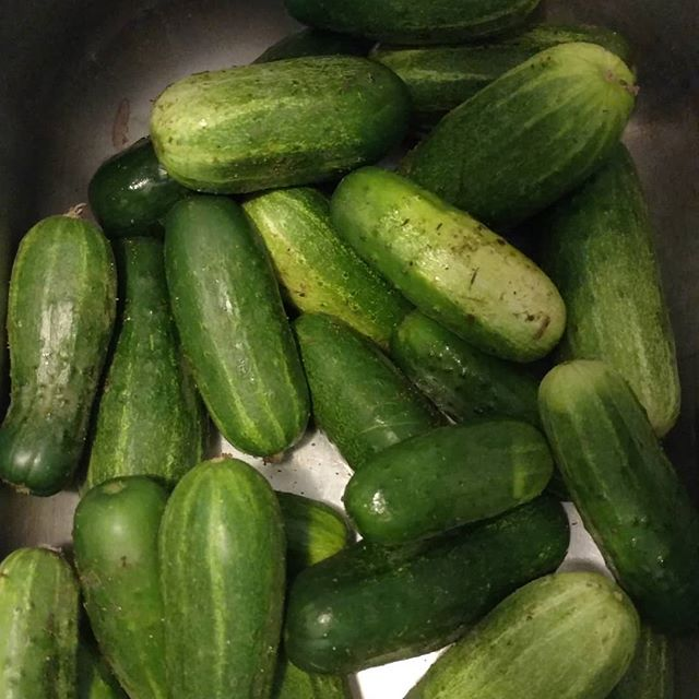 Small cucumber explosion. I forgot to pick them yesterday. (Bad farmer) Not bad for only 6 hills.