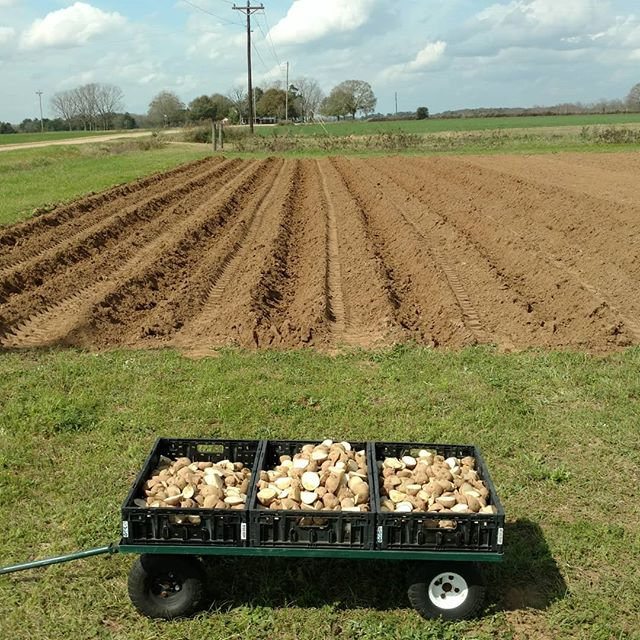 Let the 2019 potato planting games begin!  All 125 lbs of seed potatoes are ready to go.