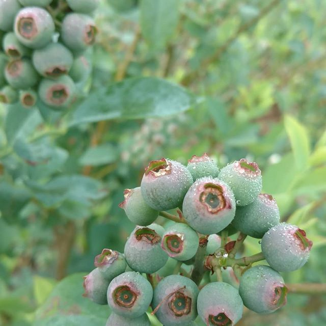 Thankfully the heavy rains and winds didn't damage the blueberry crop (or anything else on the farm). We pray that everyone else weathered the storm safely!